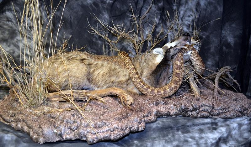 Badger and Bullsnake