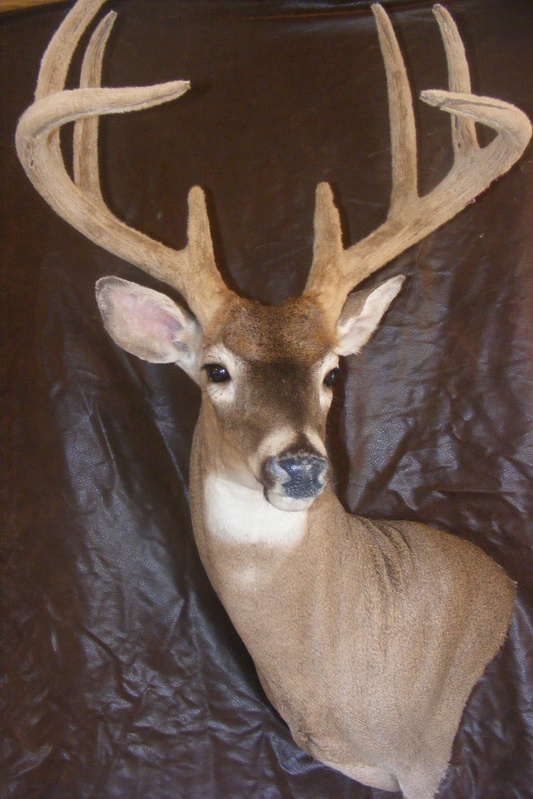 Velvet Whitetail Deer