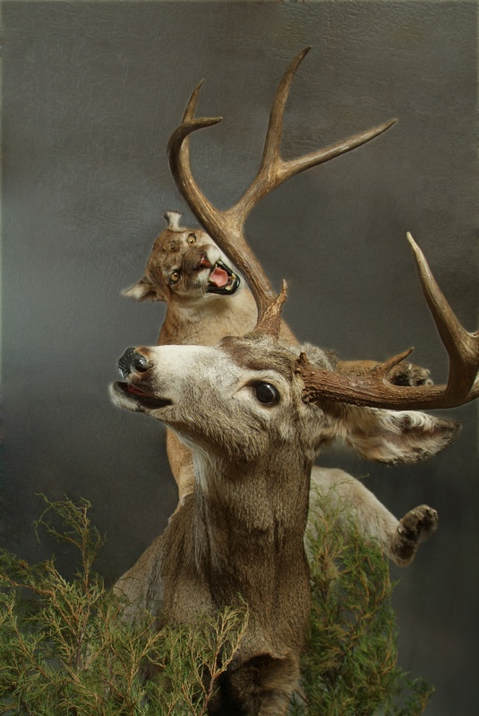 Mountain Lion & Mule Deer